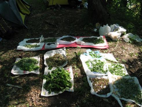 Как собирать лечебные травы видио?