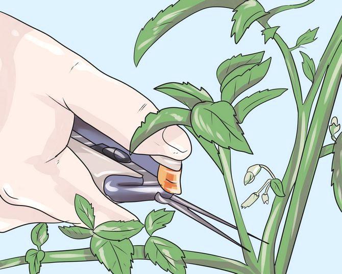 Как правильно обрезать китайскую розу?