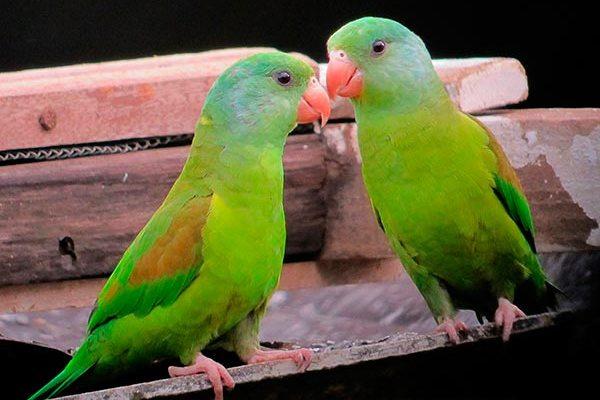 Маленькие попугаи: виды, фото самых маленьких пород в мире