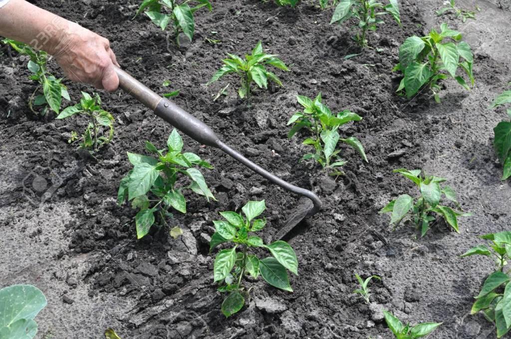 Окопаването на пипера е важна процедура в отглеждането на пипер в домашната градина.