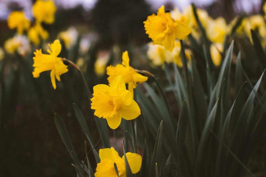 Жълт Нарцис - Как да засадим пролетни луковици за цветя?