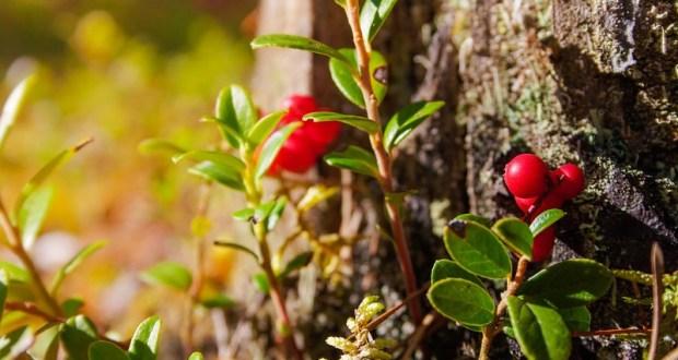 5 сентября – Сегодня день Луппы-Брусничника. Народные обычаи и приметы