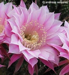 Echinopsis-Hybride