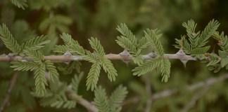 Vanni Tree - Medicinal Plants : Health Tips, Beauty Tips, Daily Health Tips, Tamil Maruthuvam Tips, Top 10 Best Health Benefits