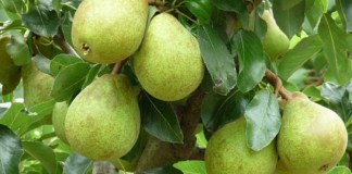 Amazing Benefits Of Pears : Health Tips, Daily Health Tips, Tamil Maruthuvam Tips, Top 10 Best Health Benefits, Easy To Follow Daily Health Tips