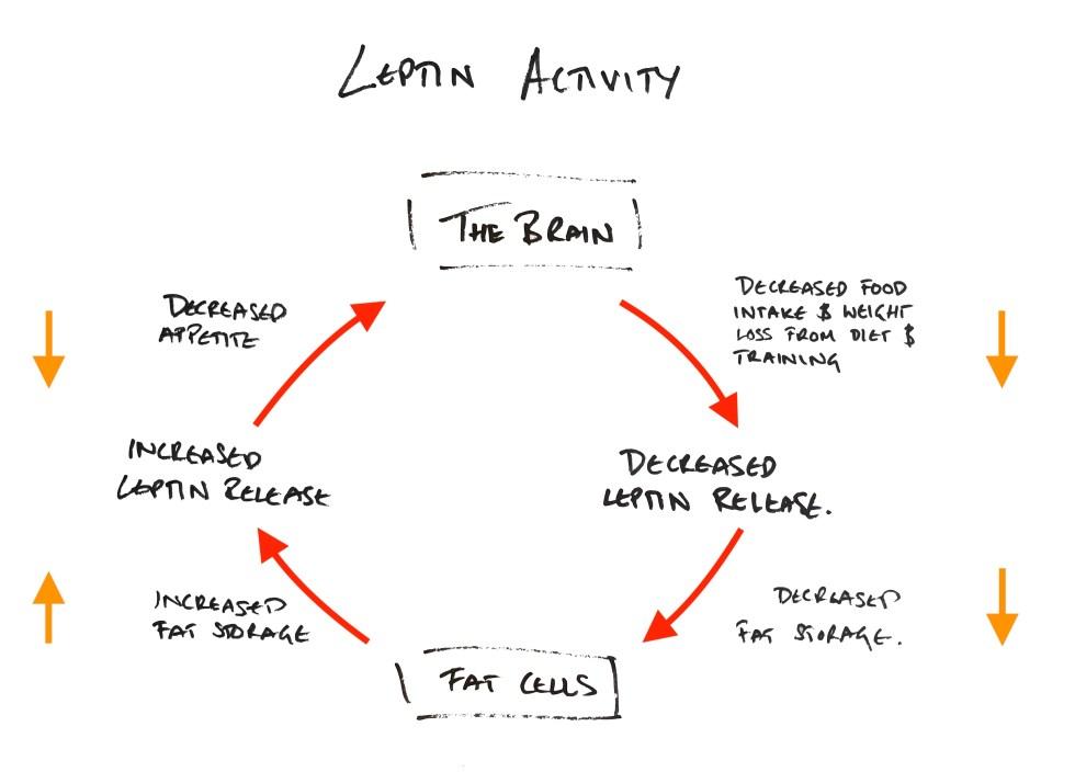 Leptin Activity