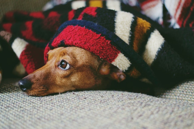 Puppy in blanket. Photo by Emily Hopper.