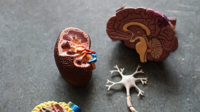Human Brain Model. Image by Robina Weermeijer.