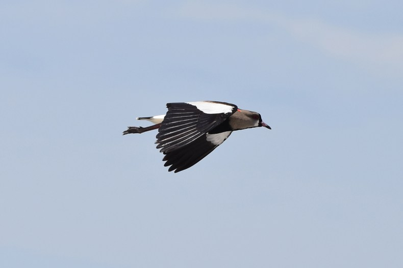southern-lapwing-tero-soars-flappy-punta-negra-smaller