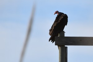 turkey-vulture-faces-left-jose-ignacio-yes