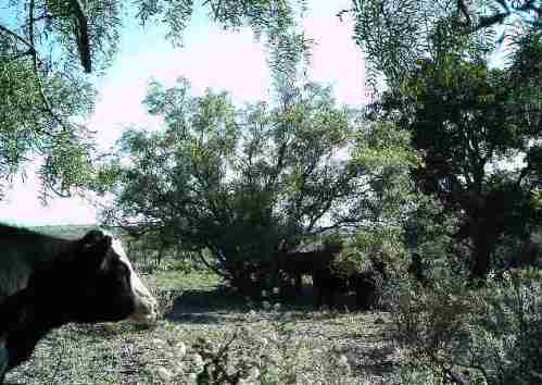 A Cow In The Brush