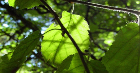 sunlight shows the texture of leaves