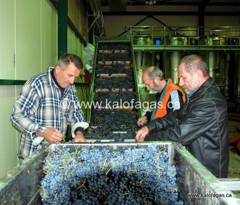 kagas-vaimakis-pavlou-sorting-grapes