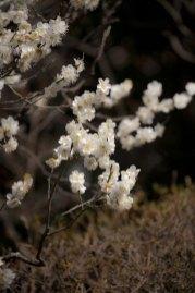 静かな報国寺で梅に見とるのは至福の時です。