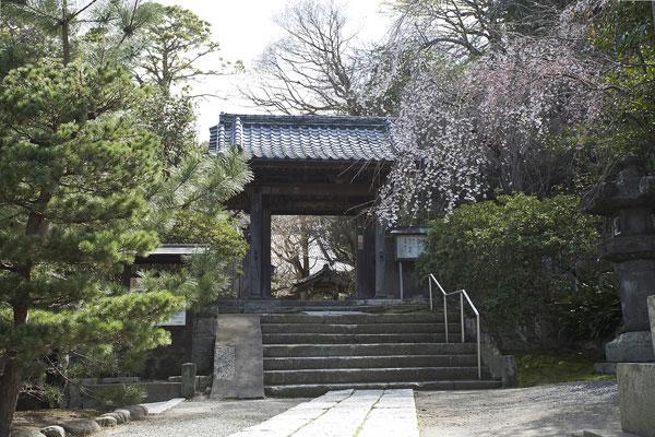 安国論寺の山門。山門右手にある枝垂桜。門と高さがあっているため、とても美しく見えます。
