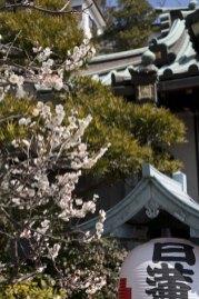 本堂左手に梅が咲きます。
