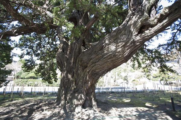 開山の蘭渓道隆手植えのビャクシン。樹齢750年にもなる大木です。