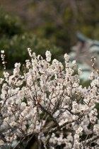 東慶寺の梅。
