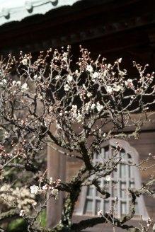 英勝寺。仏殿前の梅。門前の梅と同じ感じに早めに咲きます。