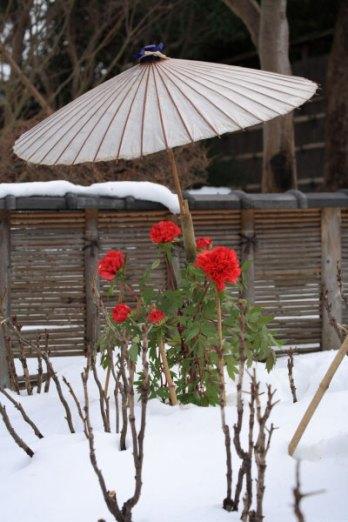 神苑牡丹園。元日から2月下旬、冬の見頃を迎えます。