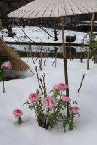 神苑牡丹園。東日本の太平洋側が記録的大雪となったため、雪化粧が抜群でした。