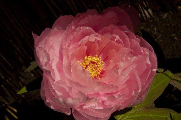 鶴岡八幡宮境内にある神苑牡丹園。元日から2月下旬が冬の見頃、春の見頃は4月〜5月中旬。