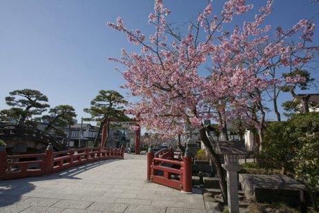 三の鳥居を入って、左手にある八重桜。まずここから咲き始めます。