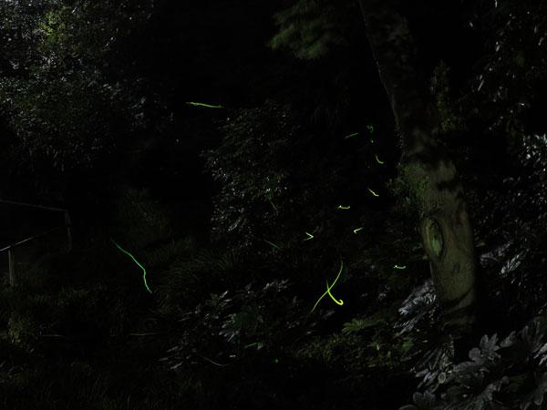 鶴岡八幡宮、柳原神池のホタル。6月に入ると飛び始めます。数は少ないものの、場所が場所だけにかえって幽玄さを増すというものです。