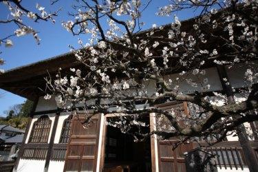 選仏場の前。仏教様式の建物と梅はとてもよくあいます。近代建築はまだまだ幼稚で無粋な風情だと思ってしまいます。