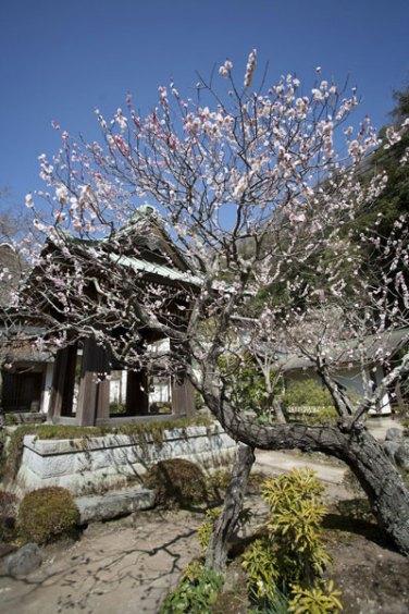 梵鐘前の梅。結構な古木です。