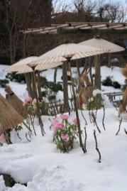 神苑牡丹園。雪に咲く牡丹、傘が風情を深めます。