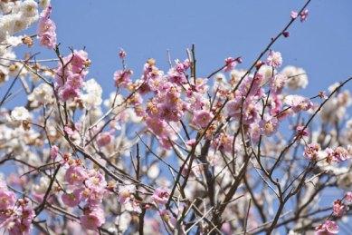 よく見ると上の方にはたくさん桃色の花が咲いていました。