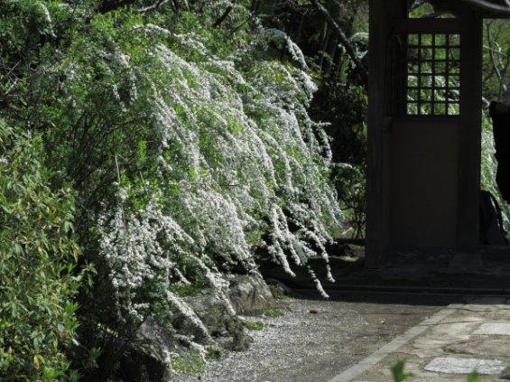 海蔵寺の雪柳(ユキヤナギ)。3月下旬から白い花が咲き始め、4月中旬頃までみられます。