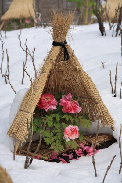 神苑牡丹園。暖かな鎌倉とは思えない景色。