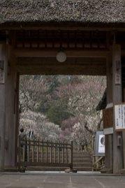 門をくぐる前から境内の梅に圧倒されます。