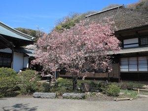 海蔵寺の海棠(カイドウ)。鎌倉ではとても人気のある花木です。3月下旬〜4月上旬、桜と前後して咲きます(おおむね桜より1週間程度遅いです)。