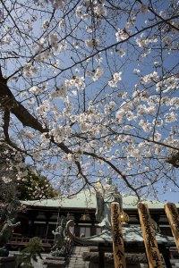 日蓮上人像に化粧をするようにしてのびる桜。