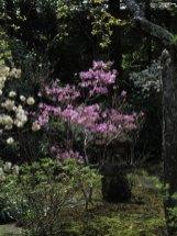 海蔵寺の三葉躑蠋(ミツバツツジ)。普通のツツジよりも早く咲き、海棠(カイドウ)が咲く頃には見頃です。