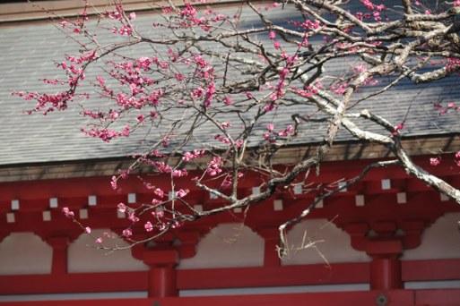 荏柄天神社の寒紅梅。鎌倉一早咲きと銘打たれ、1月下旬に咲きます。