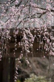 山門の枝垂梅。海蔵寺のこの空間にこの梅。完璧です。