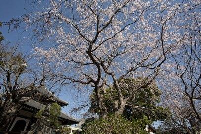 本覚寺の枝垂桜が頭上を覆います。左手には御分骨堂が見える。