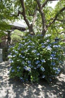 本覚寺のあじさい。枝垂桜の根本。周囲の空間といいゆったりと味わい深いあじさいです。