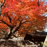 東慶寺本堂の前に豊かな紅。ほれぼれします。