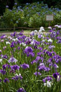 明月院の花菖蒲と紫陽花。花菖蒲の背後には次の世代のヒメアジサイが育てられています。