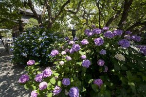 本覚寺御分骨堂の前、有名な枝垂桜の根本あたりに咲くあじさい。端正な咲きっぷりです。