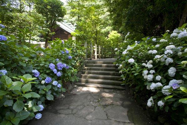 鎌倉宮のあじさい。本殿の背後、護良親王の土牢を過ぎ、神苑へと降りる階段の両側に咲くあじさい。