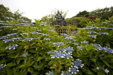 源氏山公園のあじさいは源頼朝像の膝元を飾るように咲いています。