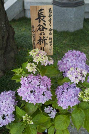 長谷寺のあじさい。長谷寺にて命名された新種の紫陽花。長谷の祈り。作出:加茂花菖蒲園。