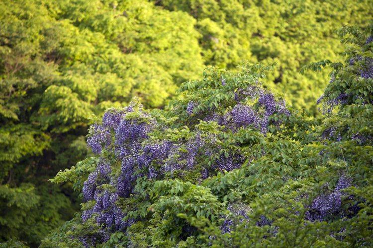 鎌倉百景『新緑の山に藤』