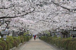 段葛の桜並木。